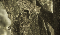 Leopard from a tree