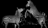 Fighting Zebra