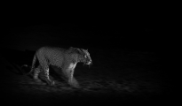 leopard panning at night