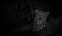 leopard during night drive