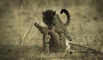 Leopard killing impala