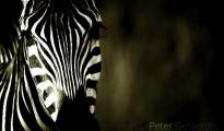 Crawshay's zebra,