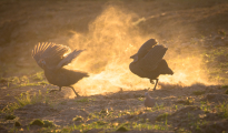 Guineafowls fighting at dawn