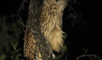 The Pel's fishing owl