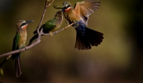 White fronted bee-eaters