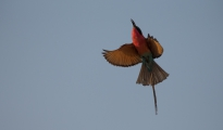 carmine- bee-eater in flight