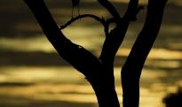 herron silhouette