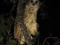 The Pel's fishing owl