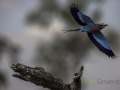 Lilac-breated roller
