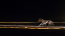 lion-panning