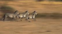 zebras panning