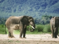 Elephants sand bathing