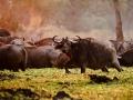 Buffalo at dawn