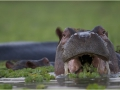 Hippo eating
