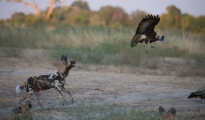 Dog chasing vulture