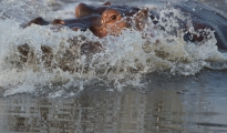 Hippo_splashing