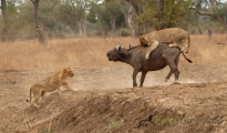 Lion & Buffalo