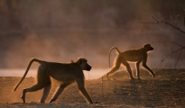 baboons at dawn