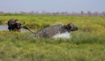 buffalo splashing