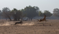 dog safaris `south Luangwa