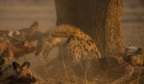 dogs_hyena fight