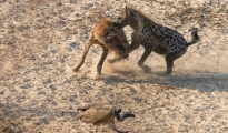 fighting hyena