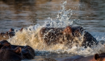 hippo splashing
