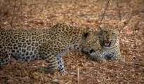 leopard confrontation