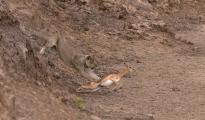 lioness hunting_impala