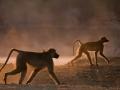 baboons at dawn