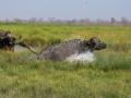 buffalo splashing