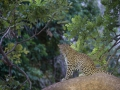 leopard scar in tree
