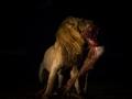 lion draging