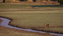 Lioness scenery wafwa