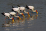 Birds of South Luangwa, Bird photography, Water birds, stork