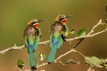 White fronted bee-eaters, Bee-eaters, colorful birds, insect eating birds