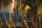 South Luangwa Lions, Lion photography, Big 5, Lion