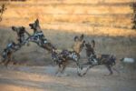 pack of painted dogs, Wild dogs playing