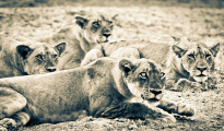 Lions ready for hunt