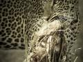 Leopard with kill