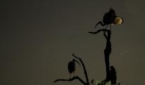Secret ibis