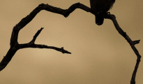 The western banded snake eagle