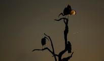 Sacret ibis