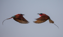carmine bee-eaters fighting