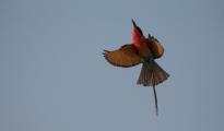 carmine- bee-eater in flight