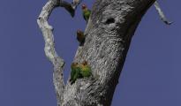 Lilian Lovebirds