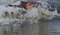 Hippo_splashing