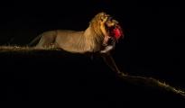 Lion draging prey