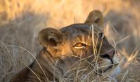 Lioness_light