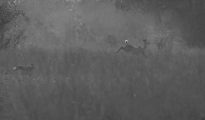 dog hunting kudu